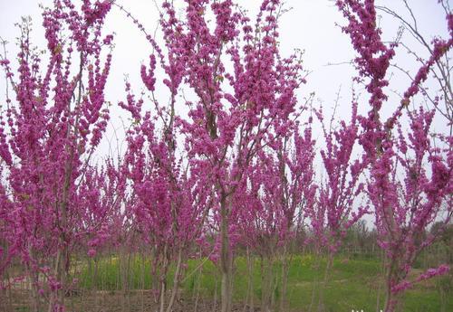 宿遷叢生紫荊