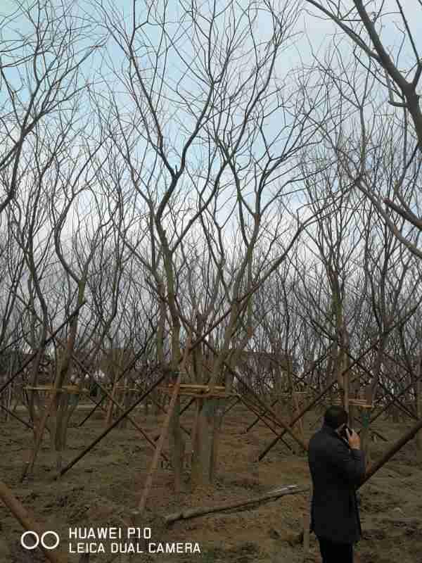 宿遷叢生樸樹